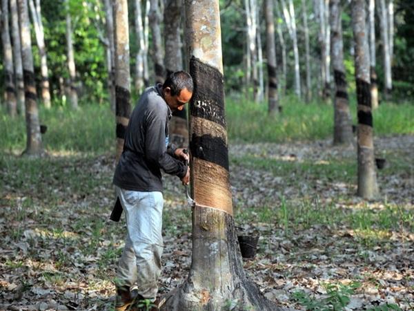 Bantuan RM300 Kepada Penoreh Getah Dibayar Bulan Depan